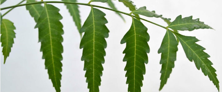 Top 6 Health Benefits of Neem You Should Know